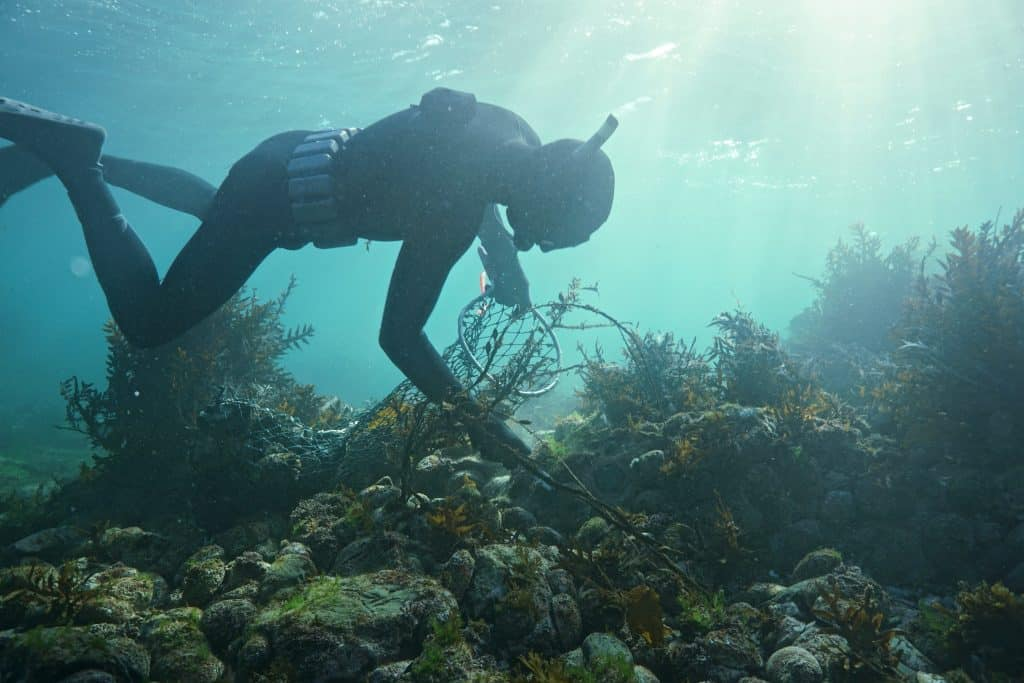 Diver collecting paua from the sea floor